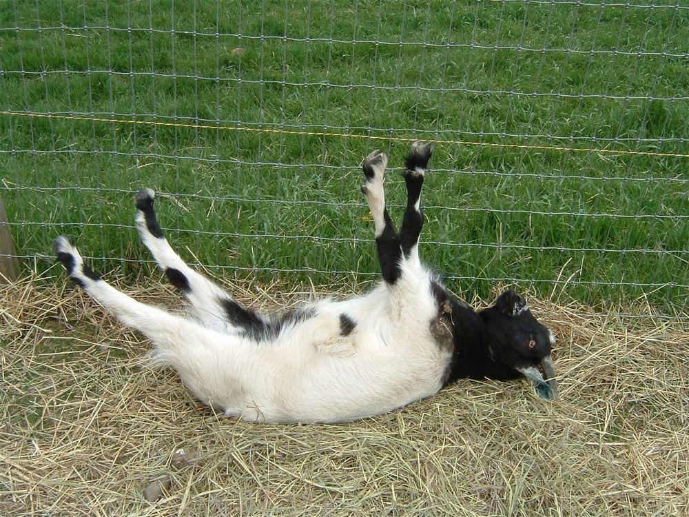 fainting-goat-26