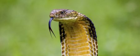 King Cobra (Ophiophagus hannah) The world's longest venomous snake