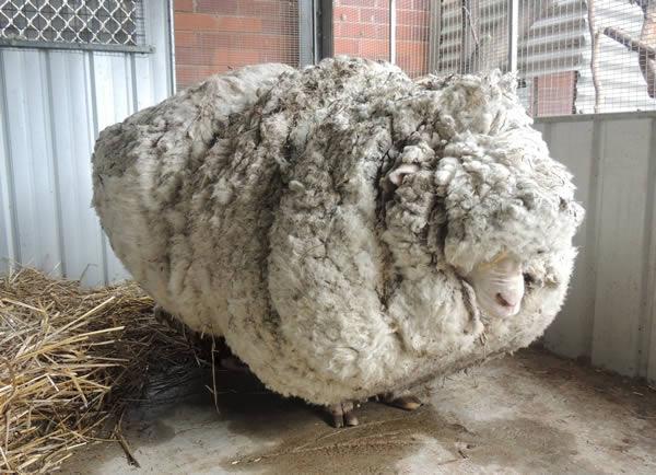 از گوسفندی که در نزدیکی پایتخت کشور استرالیا، یعنی کانبرا پیدا شده بود، بالغ بر 40 کیلوگرم پشم چیده شده که همین امر این حیوان را به پر پشم ترین گوسفند زنده دنیا بدل کرده است. افرادی که این گوسفند را پیدا کرده اند، نام «کریس» روی آن گذاشته اند و در این باره گفته اند این حیوان به دلیل سنگینی بیش از حد پشم هایش قادر نبوده به درستی حرکت کند. گفته شده بود که احتمالا بیش از 5 سال پشم های این حیوان چیده نشده باشد. کریس در حال حاضر رکورددار پر پشم گوسفند جهان است. پیش از آن، گوسفندی به نام «بیگ بِن» که در سال 2014 در نیوزیلند پیدا شده بود، با 29 کیلوگرم پشم، سردمدار این رکورد بود. بیگ بن در کشور خود محبوبیت زیادی داشت به طوری که تا پیش از مرگش در سال 2011 به سوژه بسیاری از کتاب های کودک در نیوزلند تبدیل شده بود.