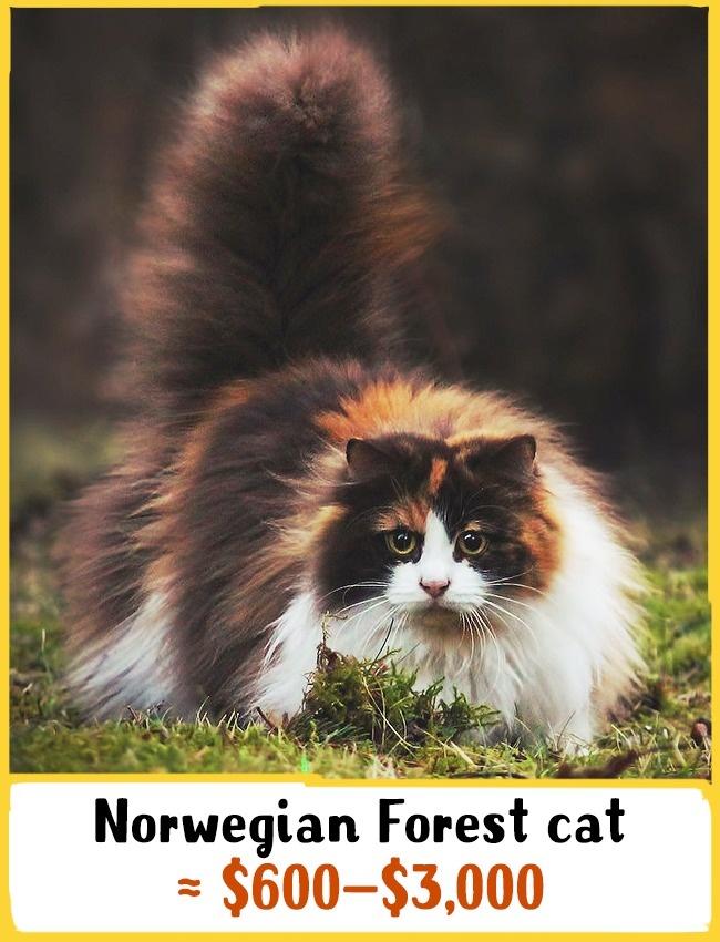 نیاکان این گربه های فوق العاده زیبا به 2 سال پیش باز می گردد که وایکینگ ها آن ها را پرورش می داده اند. این نژاد توانایی تحمل سرمای شدید را داشته و شکارچی بسیار خوبی به شمار می رود. بچه گربه ی نژاد نروژی بین 600 تا 3 هزار دلار (2.2 تا 11 میلیون تومان) خرید و فروش می شود.