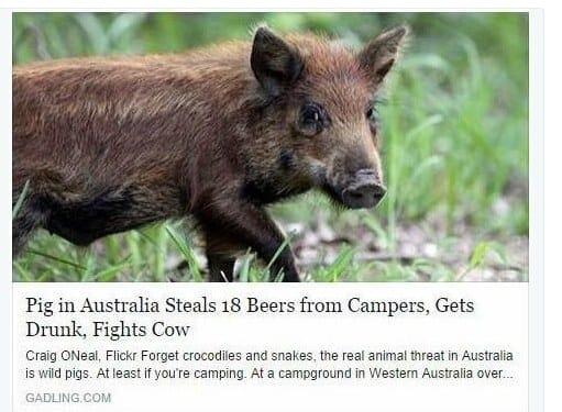 این خوک وحشی 18 بطری آبجو دزدیده، آن ها را سرکشیده و پس از مست شدن به گاوها حمله کرده است.
