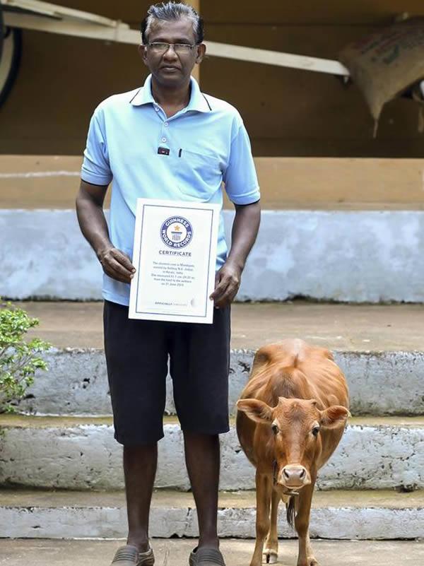 در سال 2014 میلادی، این گاو 6 ساله که «منیکایم» نام دارد به عنوان کوتاه ترین گاو جهان نامش در گینس به ثبت رسید. این حیوان فقط 61.5 سانتی متر قد دارد. این پستاندار در آتولی در جنوب هندوستان ساکن است و با اینکه تغذیه آن با دیگر گاوها برابر است اما ذاتا کوتوله محسوب شده و توان رشد بیشتر از این اندازه را ندارد.