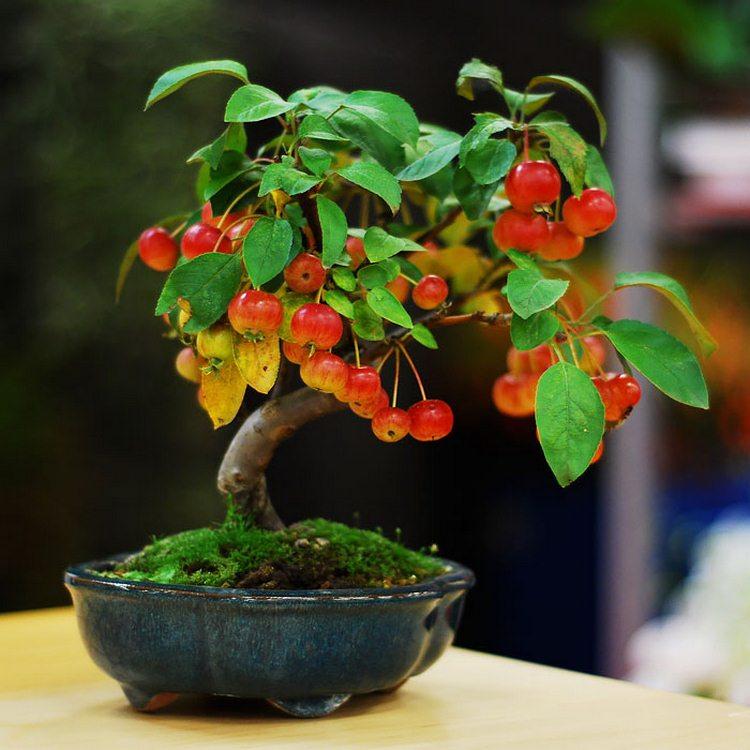 درختچه های مینیاتوری بونسای