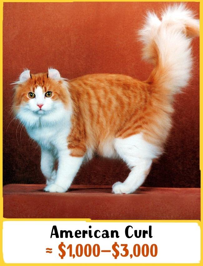 «امریکن کِرل» در سال 1981 در آمریکا پرورش داده شد. این گربه ها تا دهمین روز تولد خود گوش های صافی دارند اما پس از آن، گوش ها به عقب برگشته و شکلی همچون شاخ کوچک ایجاد می کنند. این ویژگی ظاهری مورد توجه افراد زیادی در سراسر دنیا قرار دارد. بچه گربه ی نژاد امریکن کِرل بین 1000 تا 3000 دلار (3.7 تا 11 میلیون تومان) خرید و فروش می شود.