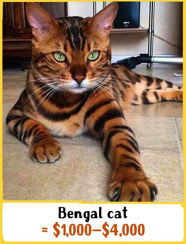 این نژاد از ترکیب گربه پلنگی آسیایی با گربه معمولی به وجود آمده است. این حیوان به شنا کردن علاقه دارد و علیرغم اندازه بزرگ (4 تا 8 کیلوگرم وزن)، دوست دارند از شانه های صاحب خود بالا رفته و در آغوشش باشند. بچه گربه ی نژاد بنگال بین 1000 تا 4000 دلار (3.7 تا 14.8 میلیون تومان) خرید و فروش می شود.