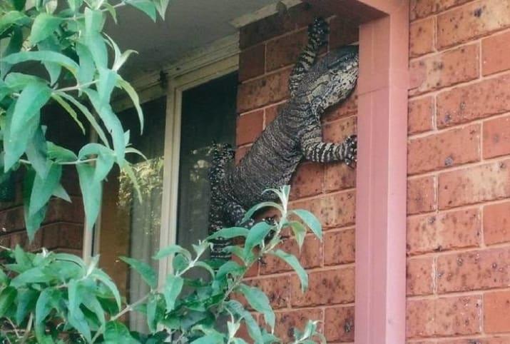وقتی یک مارمولک غول پیکر و ترسناک روی دیوار خانه تان ظاهر می شود.