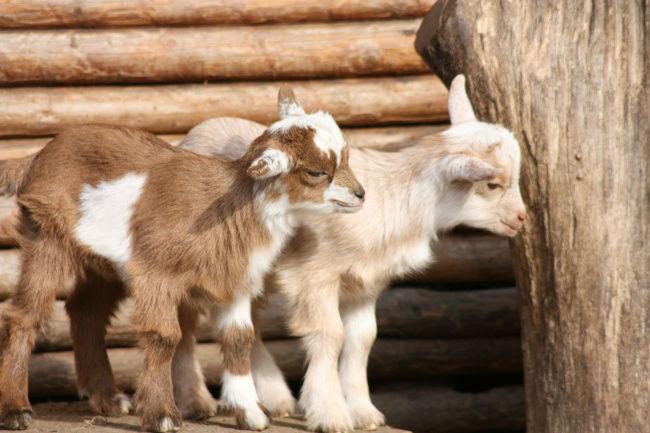 14212660-goats-49172_1920-1493908017-650-c2ac257f94-1494232807-w700
