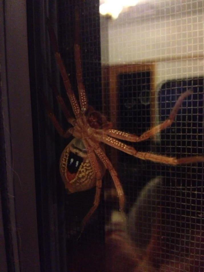 عنکبوت های بزرگی که خیلی راحت وارد خانه ها می شوند