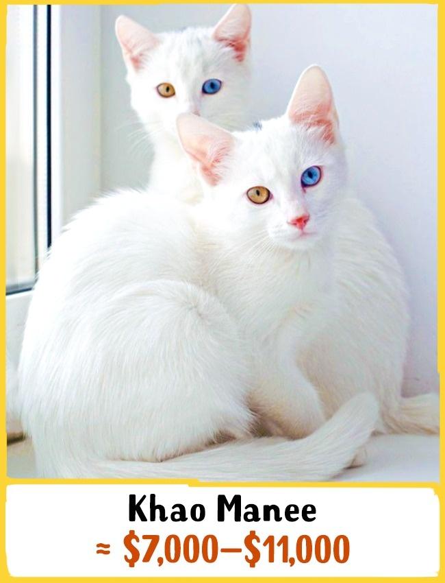 با بررسی شواهد تاریخی، گفته می شود پیشینه گربه های چشم الماسی به سال های 1350 تا 1767 می رسد. بچه گربه ی نژاد خائو مانی بین 7000 تا 11000 دلار (26 تا 41 میلیون تومان) خرید و فروش می شود.