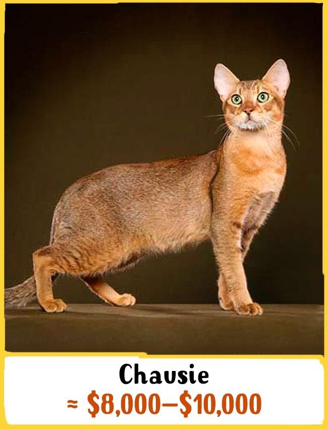 یکی از کمیاب ترین نژاد گربه ها، Chausie است که از ترکیب گربه های معمولی و جنگلی به وجود آمده. این حیوانات بسیار اجتماعی هستند و از تنها ماندن هراس دارند. این گربه دوست دارد همیشه در کنارش یک موجود دیگر باشد و فرقی نمی کند انسان، گربه یا سگ باشد. قیمت چائوسی بین 8000 تا 10000 دلار (30 تا 37 میلیون تومان) متغیر است.