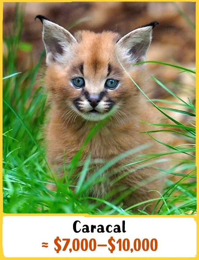 این نژاد در خطر انقراض قرار دارد. چندین سال پیش این گربه از دسته حیوانات وحشی به گربه خانگی گران قیمت تغییر کاربری داد. شما می توانید این گربه را با قیمت بین 7000 تا 10000 دلار (26 تا 37 میلیون تومان) خریداری کنید.