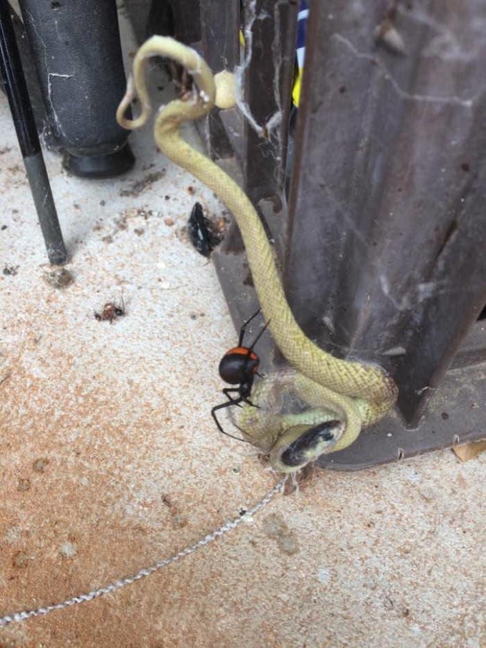 این عنکبوت لقمه ای بسیار بسیار بزرگ تر از دهان خود برداشته است!