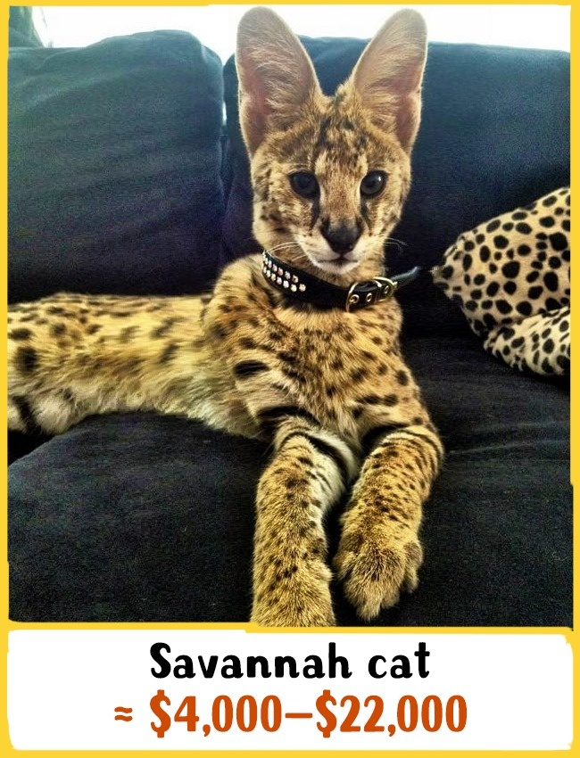 این گربه از ترکیب سروال آفریقایی و گربه معمولی به وجود آمده است. می توان ادعا کرد که بزرگ ترین گربه های دنیا هستند که حدود 15 کیلوگرم وزن و 60 سانتی متر قد دارند. این گربه ها به دلیل هوش سرشار، خونسردی، کنجکاوی و بازیگوشی شهرت دارند. آن ها عاشق حمام کردن، پیاده روی و بازی هستند. بچه گربه ی نژاد ساوانا بین 4000 تا 22000 دلار (15 تا 81.5 میلیون تومان) خرید و فروش می شود.