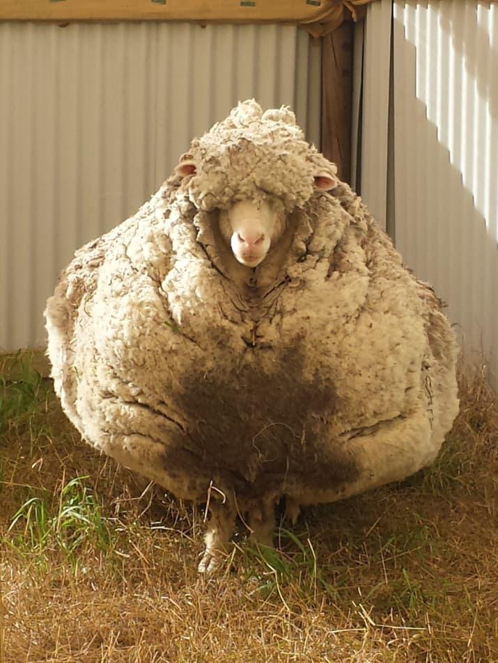 وقتی پشم های یک گوسفند به مدت 5 سال چیده نمی شود و شکلی همانند سنگ پیدا می کند.