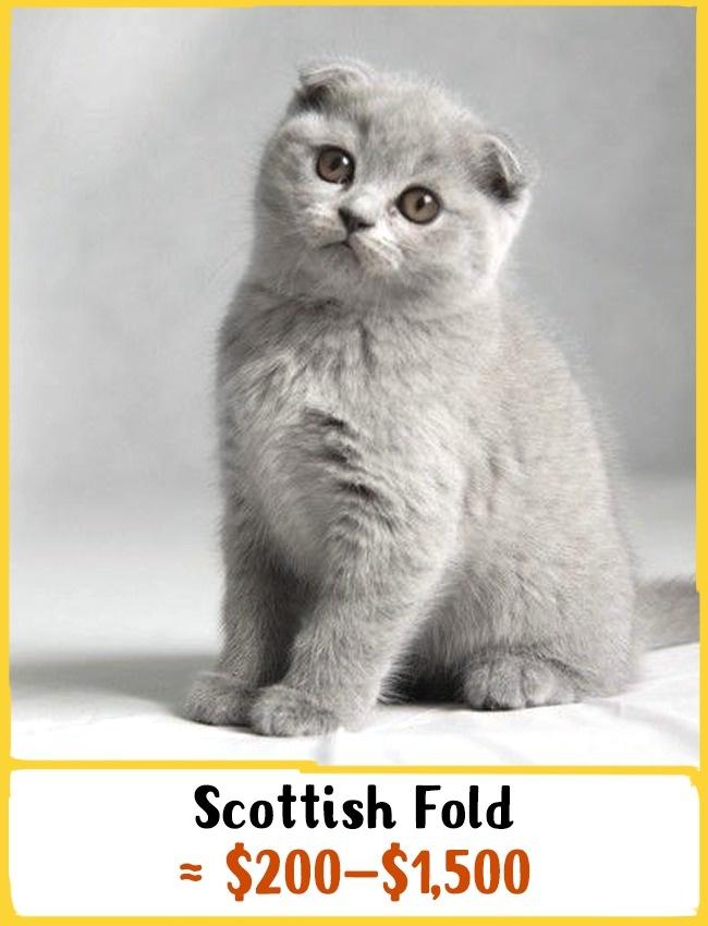 گوش های گربه اسکاتلندی برخلاف دیگر نژادها رو به بالا نیست و به سمت پایین خم شده است. این تفاوت بارز در نتیجه جهش ژنتیکی ایجاد شده. این گربه ها بسیار باهوش و همیشه آماده بازی و شیطنت هستند. از دیگر جذابیت های اسکاتیش فولد این است که می تواند روی دو پای عقب خود بایستد. بچه گربه ی نژاد اسکاتیش فولد بین 200 تا 1500 دلار (750 هزار تا 5.5 میلیون تومان) خرید و فروش می شود.