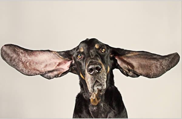 «هاربور»، سگ هشت ساله ای از نژاد Coonhound و ساکن شهر کلرادو است که به دلیل داشتن گوش های بسیار بلند نامش در کتاب گینس ثبت شده است. گوش های چپ و راست این حیوان به ترتیب 31.1 و 34.2 سانتی متر اندازه دارند. جالب است بدانید مجموع اندازه هر دو گوش هاربور از قد کوتاه ترین مرد جهان (59.6 سانتی متر) بلندتر است.