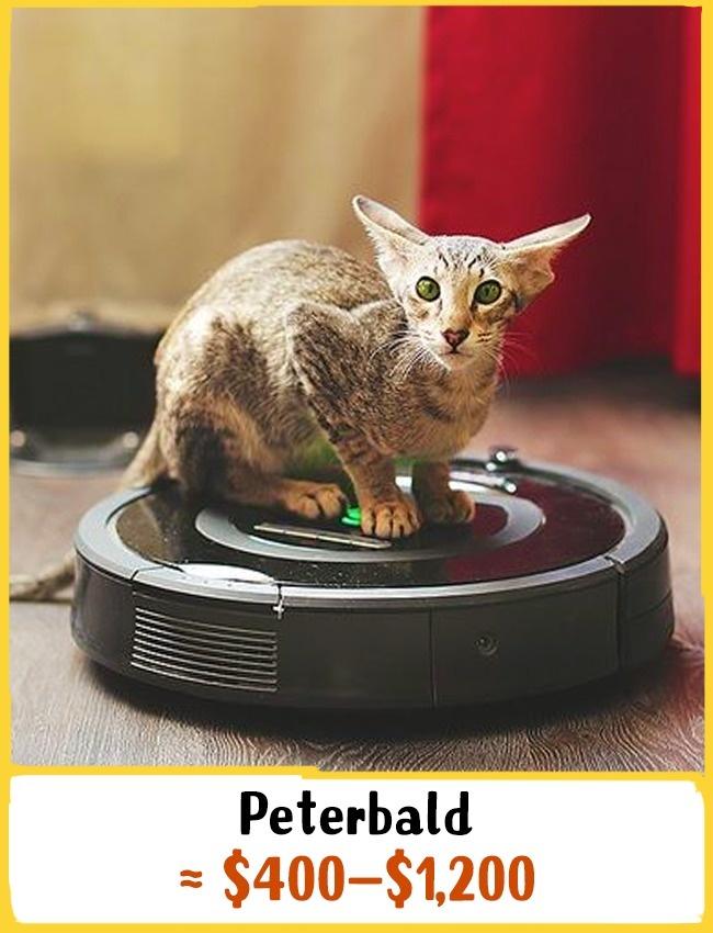 نژاد پیتربالد که به «گربه بی مو پیترزبورگ» نیز شهرت دارد، در سال 1994 میلادی در کشور روسیه پرورش داده شد. این گربه ی طاس، بدن لاغر، سر کشیده و گوش های بلند دارد. بدن آن ها می تواند کاملا بی مو یا کرک دار باشد. پیتربالدها بسیار اجتماعی، حساس و آموزش پذیر هستند. بچه گربه ی نژاد پیتربالد بین 400 تا 1200 دلار (1.5 تا 4.5 میلیون تومان) خرید و فروش می شود.