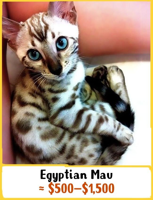 ظاهر گربه «اجیپتیَن مائو» در طول 3 هزار سال اخیر دستخوش تغییراتی شده است. این گربه مصری نه تنها موهای خالدار دارد، بلکه پوستش نیز خالدار است. برای خرید این گربه مصری باید بین 500 تا 1500 دلار (1.8 تا 5.5 میلیون تومان) هزینه کنید.