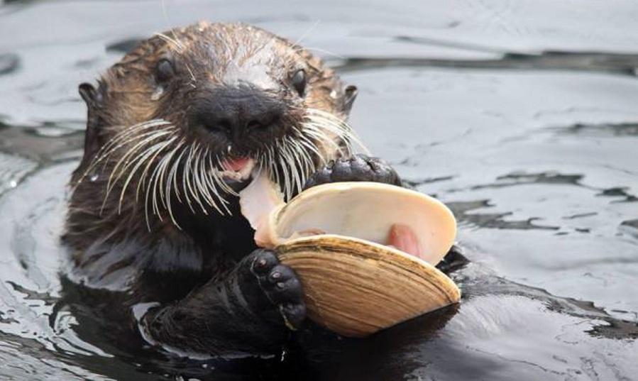 جالب است بدانید که سمور دریایی در دست خود بخشی همانند کیسه دارد که پوست آن کش آمده و حیوان را قادر می سازد تا سنگ ها و غذاهای موردنظرش را در آن جای داده و مخفی کند.