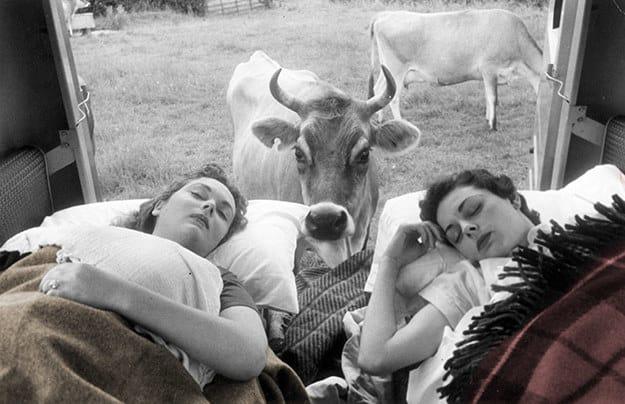 بر اساس مطالعاتی که در سال 2011 صورت پذیرفت، مشخص گشت که گاو ها نیز همانند انسان ها معنای دوستی را به خوبی درک می کنند به طوری که اگر از بهترین دوستان خود جدا شوند، مضطرب شده و رفتارهای عجیب و غیر قابل پیش بینی از خود نشان می دهند.