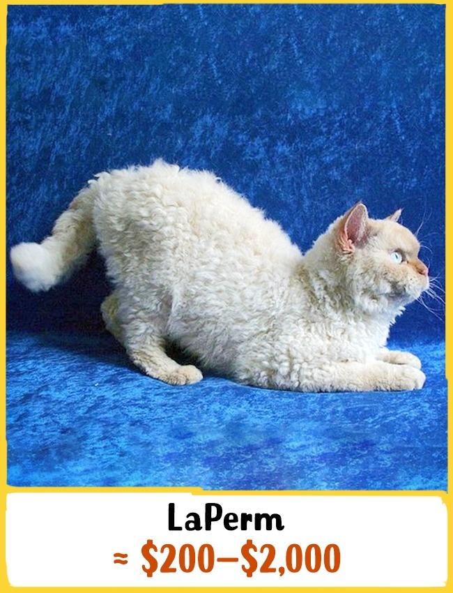 این نژاد یکی از نادرترین گونه های گربه هاست که نخستین بار در سال 1980 میلادی در آمریکا مشاهده شد. علاوه بر بدن بسیار پشمالو، این گربه ضد حساسیت نیز هست و به همین خاطر بهترین گزینه برای خانواده هایی محسوب می شود که از عارضه ی آلرژی رنج می برند. بچه گربه ی نژاد لاپرم بین 200 تا 2000 دلار (750 هزار تا 7.5 میلیون تومان) خرید و فروش می شود.