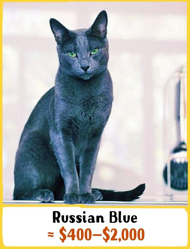راشن بلو یکی از نادرترین نژاد گربه های کم موست. این گربه در خارج از کشور روسیه در سال 1893 کشف شد. گفته می شود که این حیوان خوش شانسی می آورد. شما می توانید آن را با قیمت 400 تا 2000 دلار (1.5 تا 7.5 میلیون تومان) خریداری کنید.