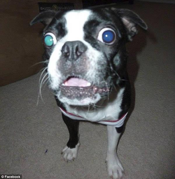 بوستون تریر 4 ساله سفید رنگ به نام Bruschi که به همراه صاحب خود، ویکتوریا رید، در تگزاس زندگی می کند، به دلیل داشتن درشت ترین چشمان سگ با قطر 28 میلی متری نامش در کتاب گینس ثبت شده است.