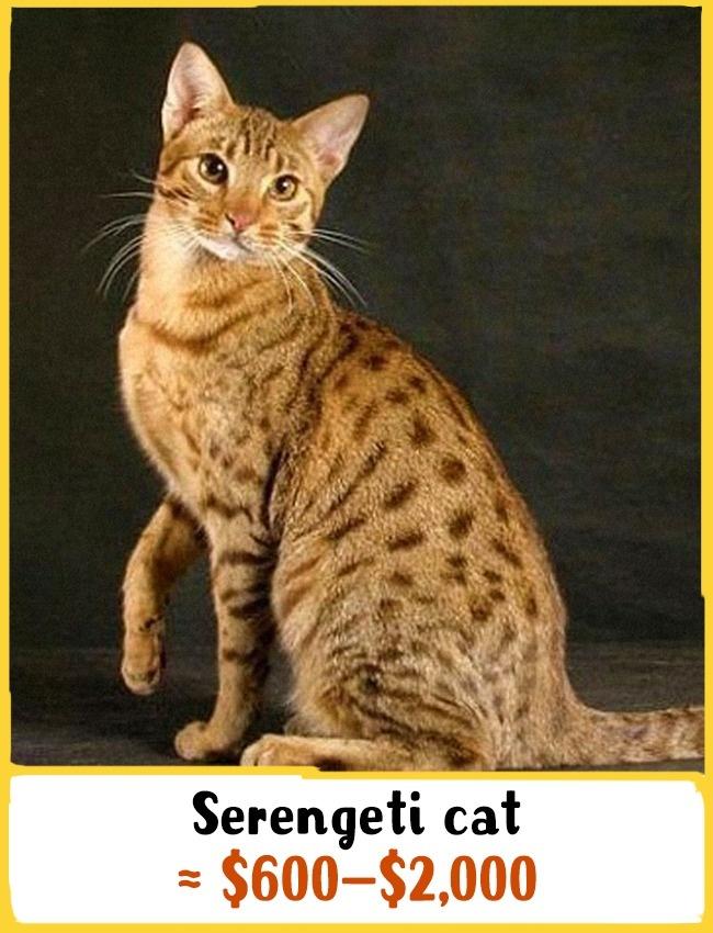 نیاکان این نژاد به سال 1994 در کالیفرنیا باز می گردد. یک سرنگتی بالغ حدود 8 تا 12 کیلوگرم وزن دارد. آن ها بدن پر، گوش های بلند، موی خالدار و پاهای بسیار بلند دارند. بچه گربه ی نژاد سرنگتی بین 600 تا 2000 دلار (2.2 تا 7.4 میلیون تومان) خرید و فروش می شود.