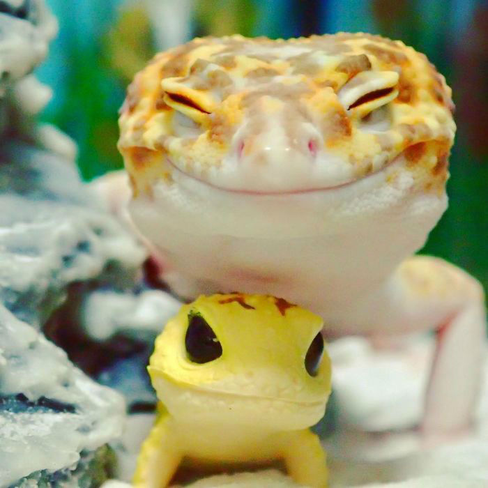 cute-happy-gecko-with-toy-kohaku-1-591e9c32b76f1__700-w700