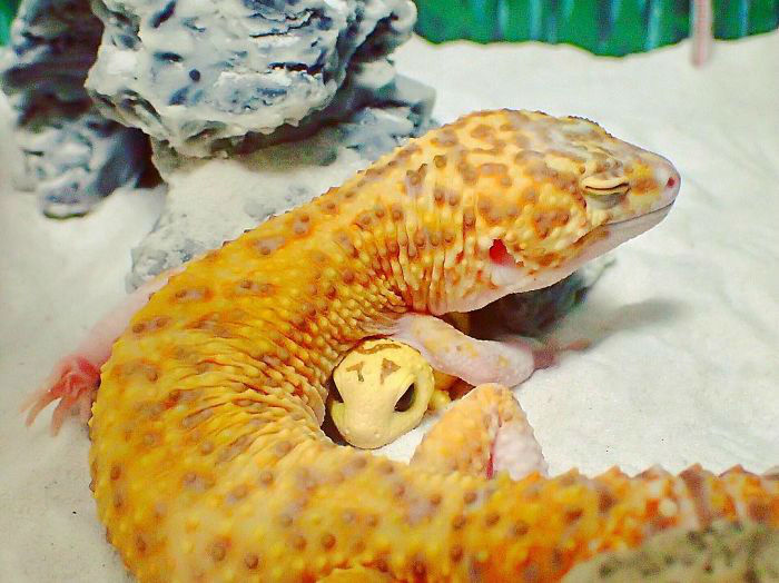 cute-happy-gecko-with-toy-kohaku-16-591e9c5a1148f__700-w700