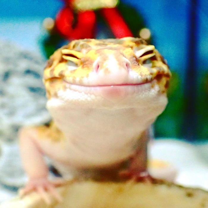 cute-happy-gecko-with-toy-kohaku-2-591e9c350806f__700-w700