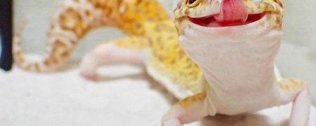 cute-happy-gecko-with-toy-kohaku-22-591e9c69d19ab__700-w700
