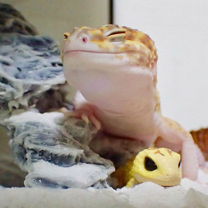 cute-happy-gecko-with-toy-kohaku-26-591e9c72e3f55__700-w700