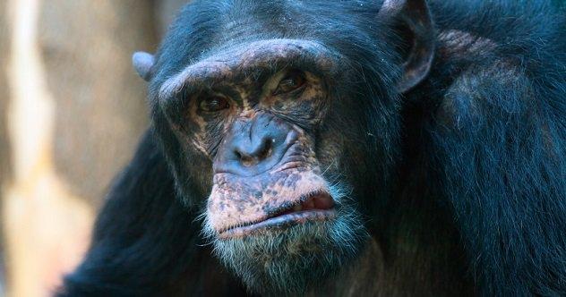 mean-chimp