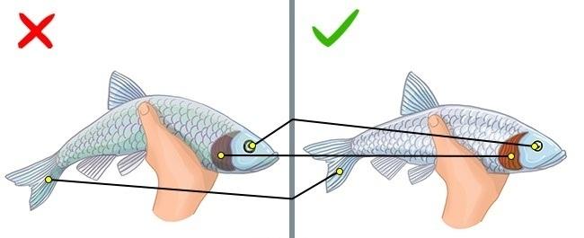 ماهی تازه، فلس های براق و چشمان شفاف دارد. دم ماهی تازه نیز افتادگی کمی دارد. همین طور باید بدانید که رنگ تیره آبشش ها و دم افتاده نشان از ماندگی ماهی دارند.