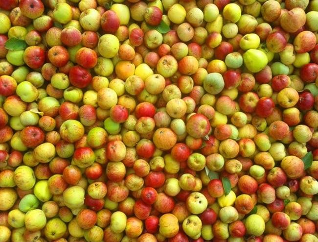 گونه های بی شماری از سیب در سراسر جهان وجود دارد که اگر بخواهید هر روز یکی از آن ها را میل کنید، بیش از 20 سال طول می کشد تا مزه تمامی انواع سیب های جهان را بچشید.