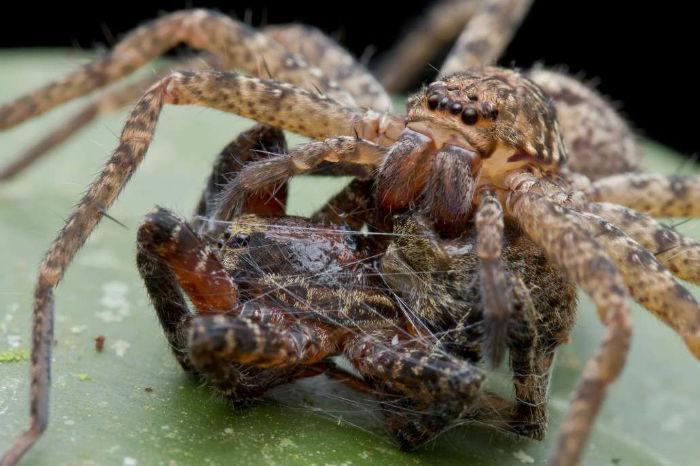 spiders_au_huntsman2-1030x686-w700