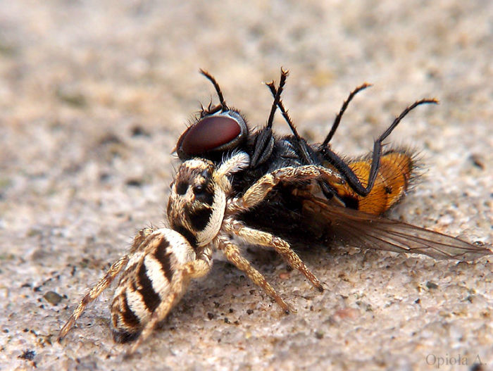zebra_spider_killing_fly_picture-w700