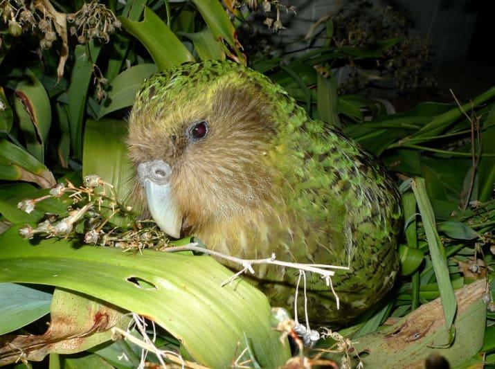 کاکاپو شبیه طوطی و بومی جزیره نیوزلند است. این موجود در حال انقراض است به طوری که فقط 65 عدد از این پرنده وجود دارد.