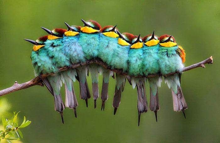 این پرنده ها طوری در کنار هم نشسته اند که در نگاه اول آدم تصور می کند کرم ابریشم است.