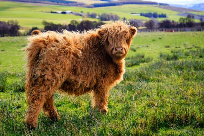 44255-animais-cabeludos-peludos-com-muito-cabelo-vaca-3-900-15fdf33d81-1484729993-w700