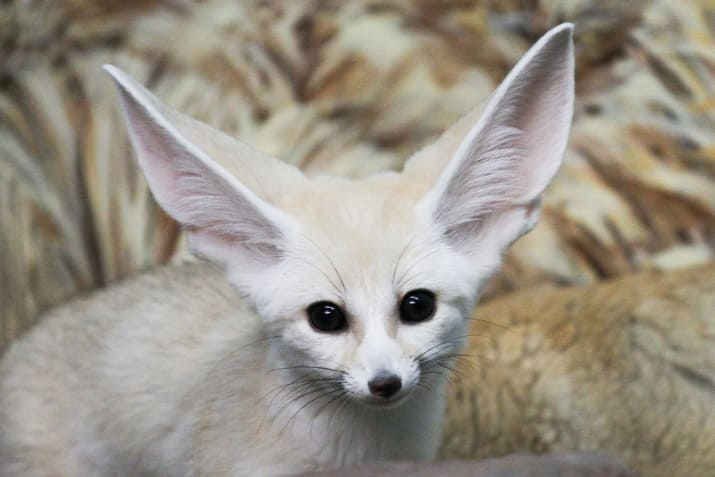این روباه می تواند به آسانی برنده جایزه زیباترین و دوست داشتنی ترین موجود زنده ی زمین بشود. روباه های صحرا به صورت دست جمعی زندگی می کنند. جفت ها در تمام زمان زندگی خود با یکدیگر می مانند. اندازه بدن آنها ۳۷ تا ۴۱ سانتی متر و اندازه دمشان ۱۹ تا ۲۱ سانتی متر است.