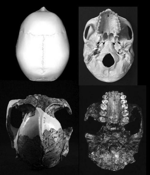 el-homo-es-el-unico-primate-cuyos-dientes-han-decrecido-al-aumentar-el-cerebro-w700