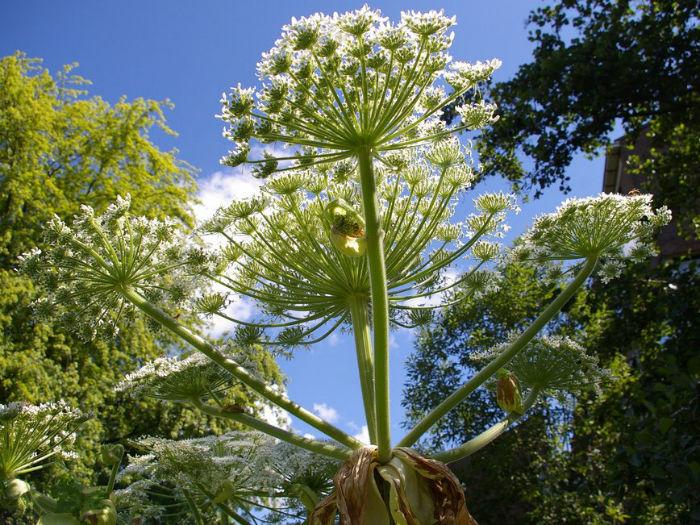 heracleum-mantegazzianum-giant-hogweed-cartwheel-flower-giant-cow-parsnip-w700