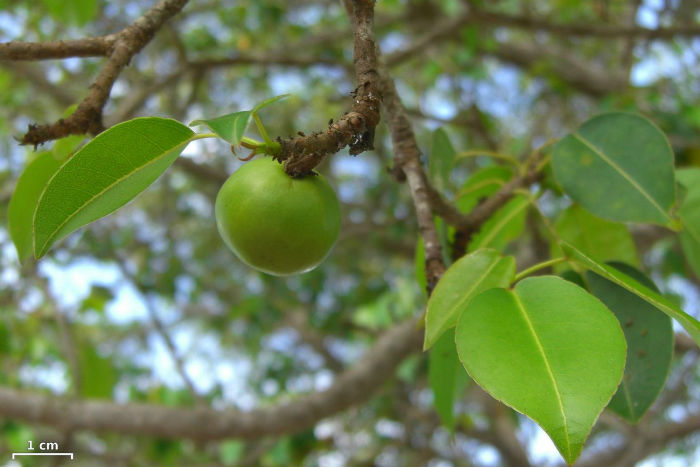 hippomane-mancinella-manchineel-tree-beach-apple-w700