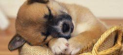 توله سگ های بامزه و خواب آلودی که سعی دارند خود را بیدار نگه دارند [تماشا کنید]