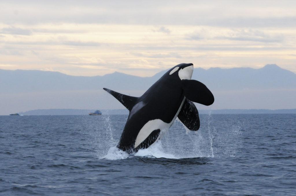 ویدیویی از حمله دسته ای اورکا به یک نهنگ مینک [تماشا کنید]