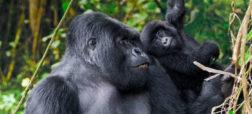 silverback-gorilla-fighting-wallpaper-2-w700