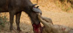 ویدیویی هیجان انگیز از مبارزه شیر و گاومیش که در نهایت با مرگ شکارچی به پایان می رسد [تماشا کنید]