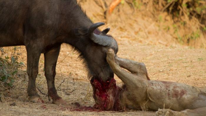 ویدیویی هیجان انگیز از مبارزه شیر و گاومیش که در نهایت با مرگ شکارچی به پایان می رسد